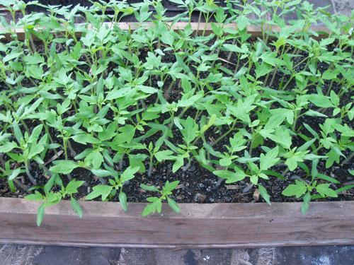как выращивать рассаду помидоров