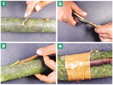 прививка деревьев мостиком