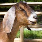 английские козы