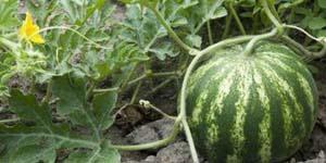 выращиваем арбузы