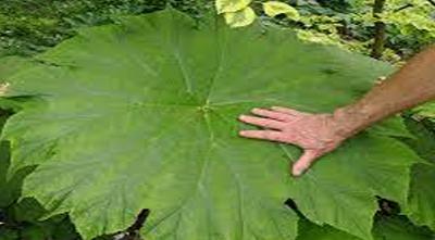 астильбоидес пластинчатый в вашем саду