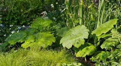 астильбоидес пластинчатый выращивание в саду
