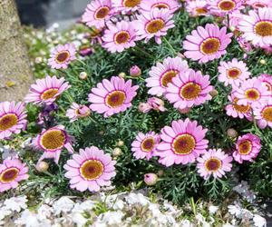 аргирантемум хризантема кустарниковая