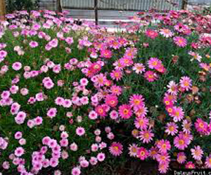 хризантема кустарниковая выращивание