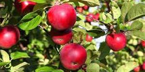 лежкость яблок