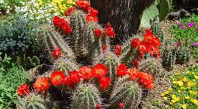 экзотические холодостойкие кактусы