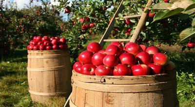 когда и как вносить кальций на яблони