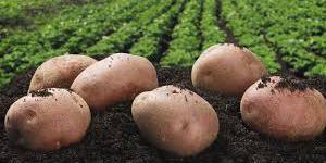 как получить хороший урожай картофеля