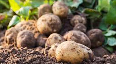 выращивать картофель