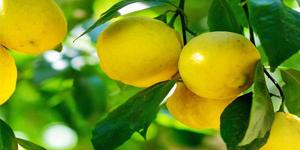 выращивание лимонов на подоконнике