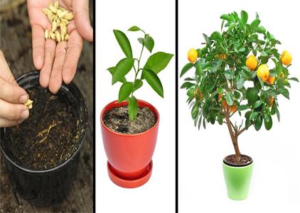 как вырастить лимон самому