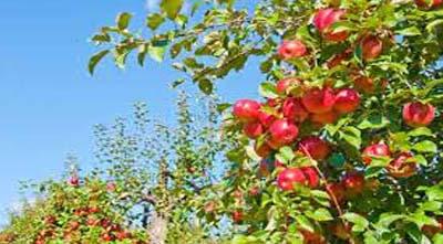 зачем летом обрезать яблоню