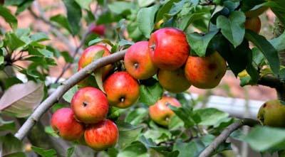 летняя обрезка яблони все за и против