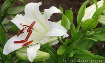 как оформить цветник лилиями