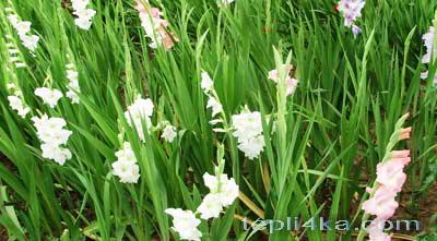 оформить цветник гладиолусы