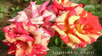 посадить цветник розы