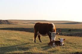 отел у коров как помочь