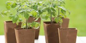 выращивать рассаду в чем