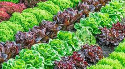 как вырастить салат в закрытом грунте