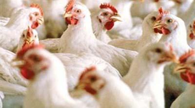 как избежать теплового стресса у кур