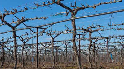 как правильно ухаживать за виноградными кустами