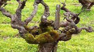 виноградные кусты как ухаживать