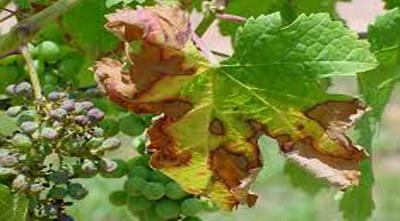 болезни винограда как бороться