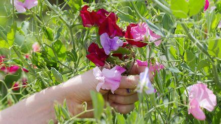 как вырастить душистый горошек на рассаду