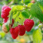 как выращивать малину из семян