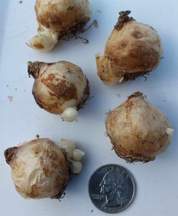 как сажать луковицы мускари