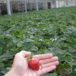 как вырастить клубнику в теплице
