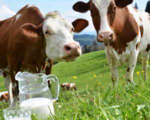 подоить буйную корову