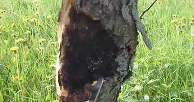 рак деревьев антонов огонь